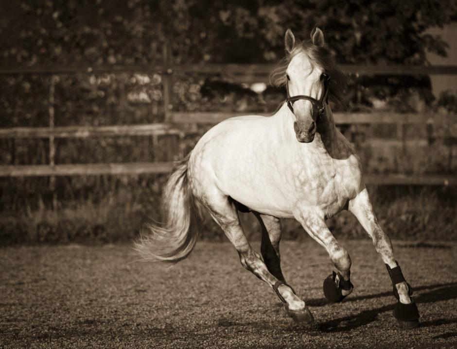 Kaunis valoinen hevonen
