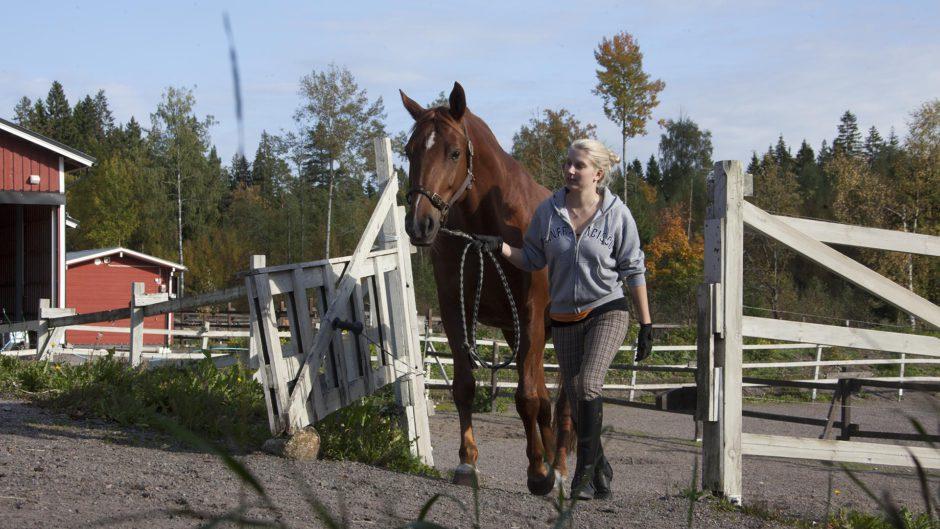 Hevosta talutetaan
