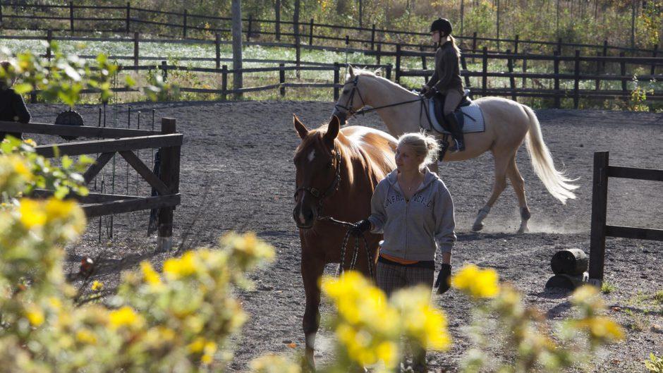 Ratsastaja taluttaa hevosta