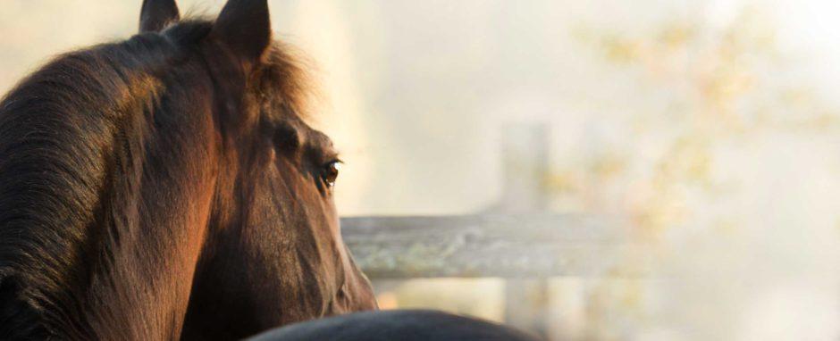 Hevonen nimeltään En Greino VI