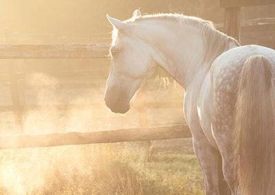 Hevonen laitumella aamuauringossa