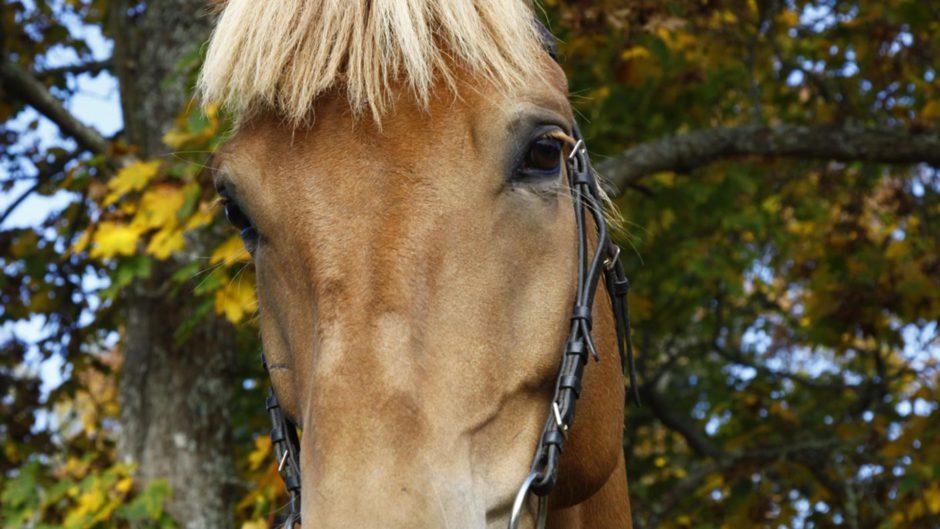 Hevosen silmät