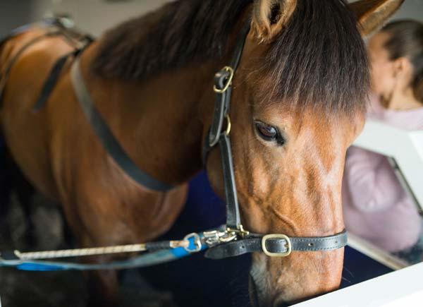 Kunkku hevonen vesikävelymatolla, kuva Johanna Vaurio.